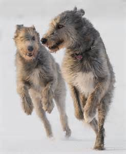 wolfhounds.jpg